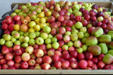 227_apples.dr.JPG